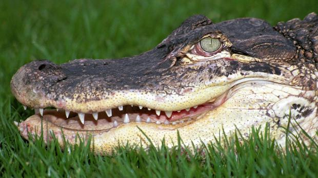 A seven-foot alligator has washed up on a beach in South Carolina