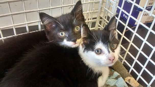 Two eight-week-old kittens who hitched a lift for nearly 100 miles by mistake