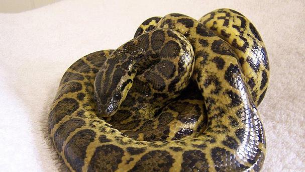 A 4ft-long yellow anaconda has been rescued by a street cleaner who found it lying next to a fence in Edinburgh (Scottish SPCA/PA)