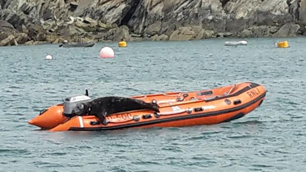 A bull seal in Pembrokeshire which has started to use an RNLI lifeboat as a sun-bathing spot (RNLI)