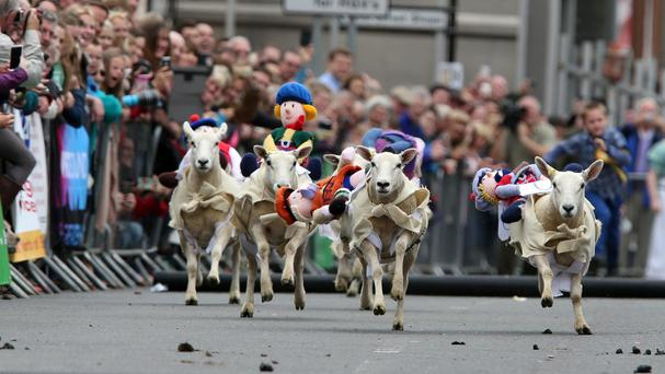 Sheep with knitted woollen jockeys on their backs race down Moffat High Street in Dumfriesshire during the annual Moffat Sheep Races