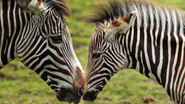 It had been thought that zebra stripes evolved to