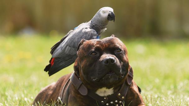 Cracker the parrot and his good friend Dudley the Staffie