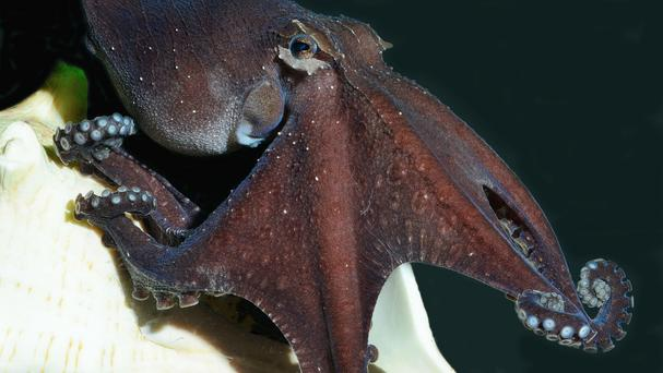 When hunting, the Pacific striped octopus reach out and tap their prey on the shoulder (Public Library of Science)
