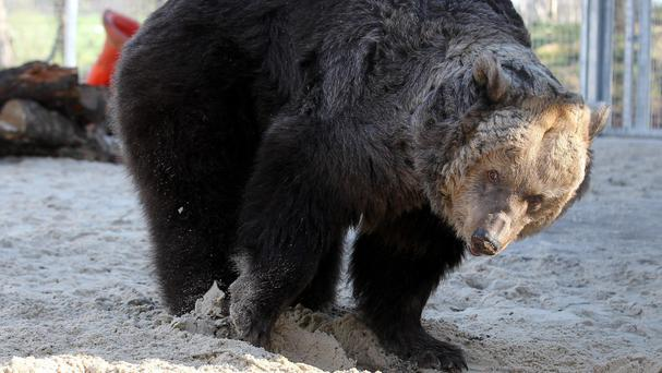 A man in a full bear costume tried to harass a mother bear and her cubs in Alaska