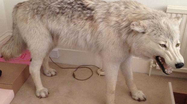 The unique stuffed Arctic wolf worth over £32,000, which was stolen from a property in London (Metropolitan Police/PA)