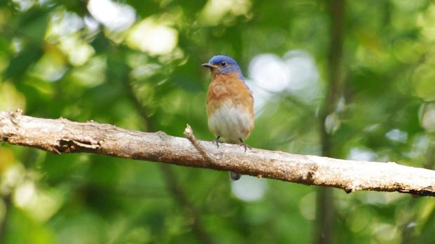 A male bluebird, who are said to 'shout' to be heard over the noise produced by humans (University of Exeter/PA Wire)