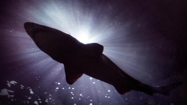 The decomposing whale could prove impossible for sharks to ignore