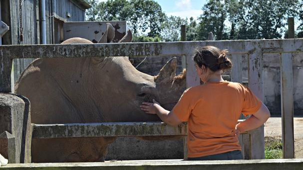 Keeper Emma Green with Rumba, as two South African white rhinos have received expert help in trying to conceive.