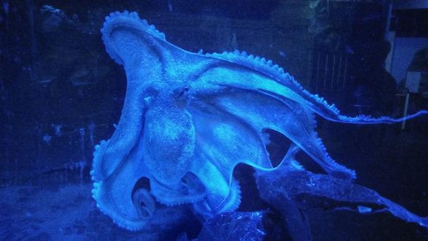 Ursula the octopus can unfasten catches, unscrew lids and dismantle Lego buildings