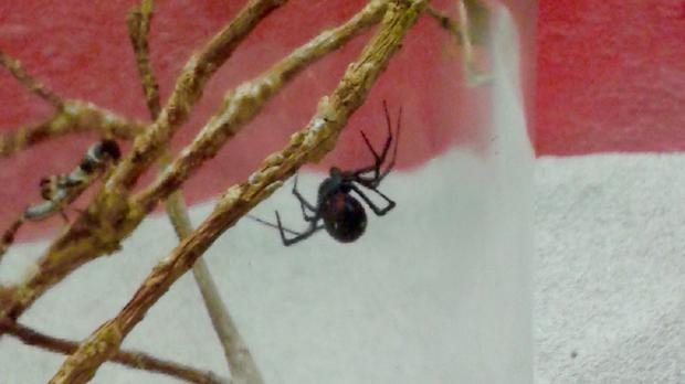 A deadly black widow spider which was found in a a Volkswagen camper van (Stratford Butterfly Farm/PA)