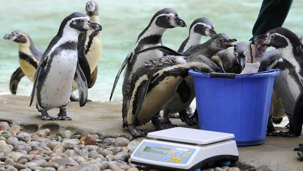 Humboldt penguins prepare to take part in the annual weigh-in at ZSL London Zoo