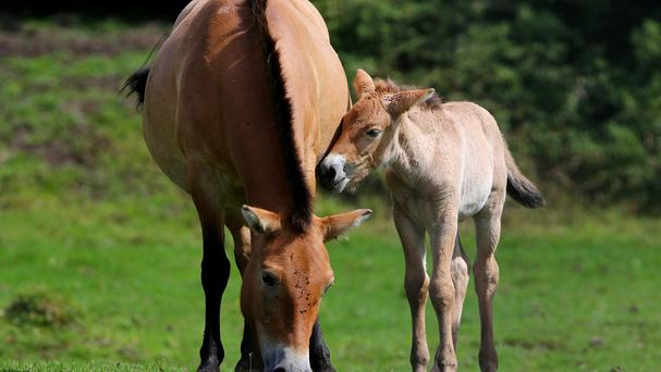 A two-week-old male rare Przewalski foal makes his park debut with his mother Ula at Port Lympne Wild Animal Park near Ashford in Kent