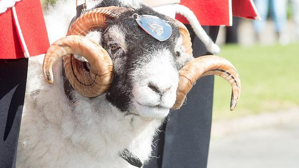 A Swaledale Ram, who is the regimental totem of the 2nd Battalion The Mercian Regiment, being promoted to Lance Corporal at Dale Barracks in Chester