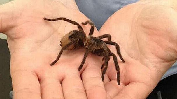 A tarantula which was found by a man in a parcel addressed to his new home