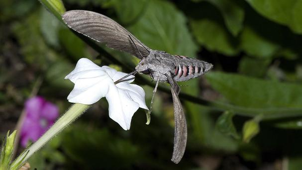 The convolvulus hawk-moth migrates from southern Europe (Keith Baldie, Butterfly Conservation)