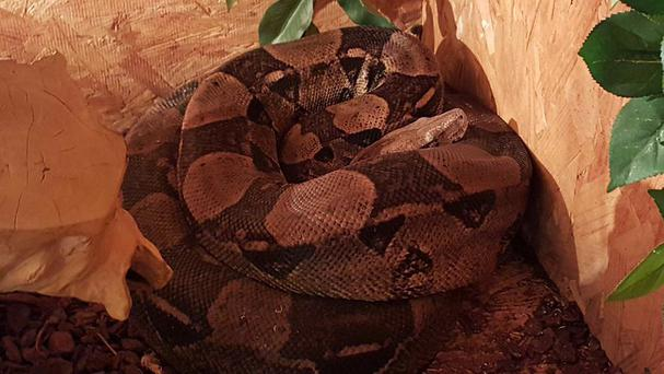 The boa constrictor that is on the loose (Cumbria Police/PA)