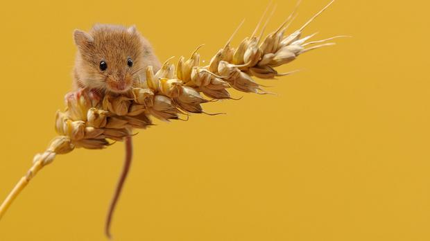 Conservationists are assessing the fortunes of harvest mice by training up a sniffer dog to track them (Ben Andrew/Firebird PR/PA)