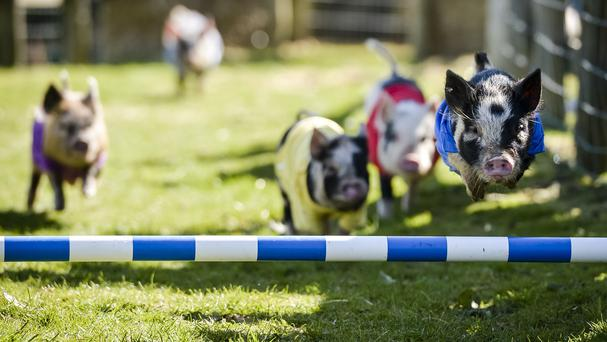 A pig race to raise funds for the Conservative Party has not been cancelled, as had been claimed