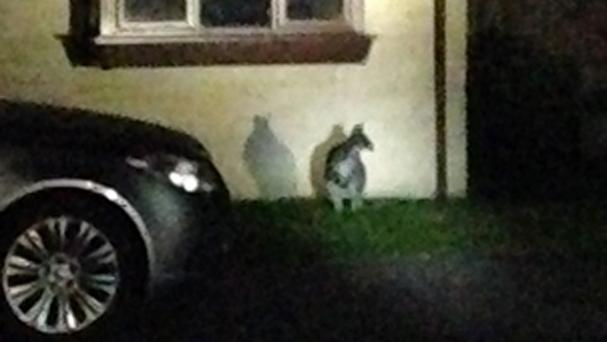 The fugitive marsupial is now thought to be a wallaby (Gloucestershire Police/PA)