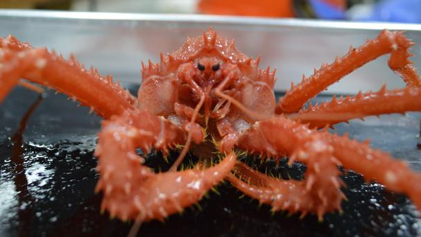 King crabs may be poised to conquer the Antarctic as a result of global warming, scientists have warned.