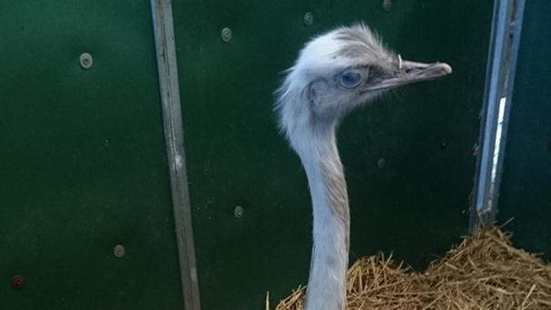 The rhea nicknamed Snowflake was found in the front garden of a house in North Boarhunt, Hampshire (Hampshire Police/PA Wire)