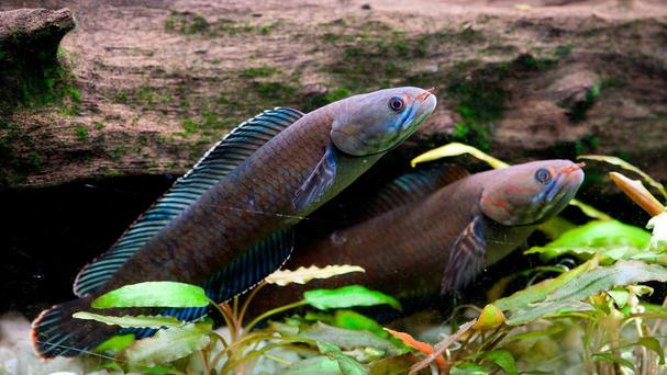 A vibrant blue 'walking' snakehead fish is among more than 200 new species discovered in the Eastern Himalayas in recent years (WWF-UK/PA)