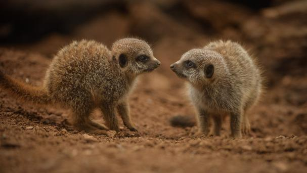 The new meerkat pups have emerged from their burrows and taken their first playful steps outside