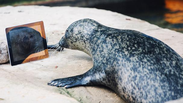 Sija FaceTiming Babyface after the seal pair were separated and moved into sanctuaries 160 miles apart (Weymouth Sea Life/PA)