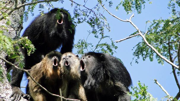 Researchers have been examining the anatomy of howler monkeys