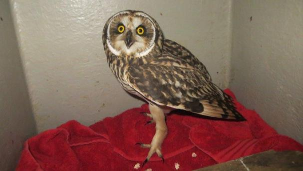 The owl crash-landed on a North Sea platform last Wednesday and was looked after by crew members who found it (PA/Scottish SPCA)