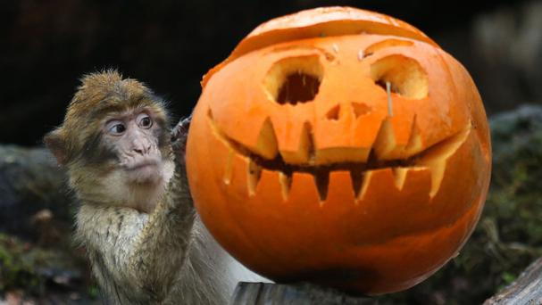Keepers at Blair Drummond Safari Park put pumpkins filled with enrichments in the Macaque drive-through