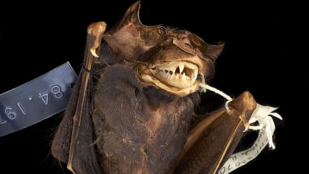 The bat was preserved in alcohol for the last 30 years at the Natural History Museum (Jonathan Jackson/Natural History Museum/PA)