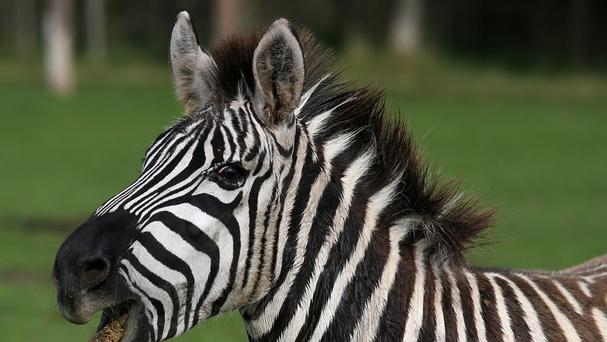 Zebras ran through the streets of Philadelphia, police said