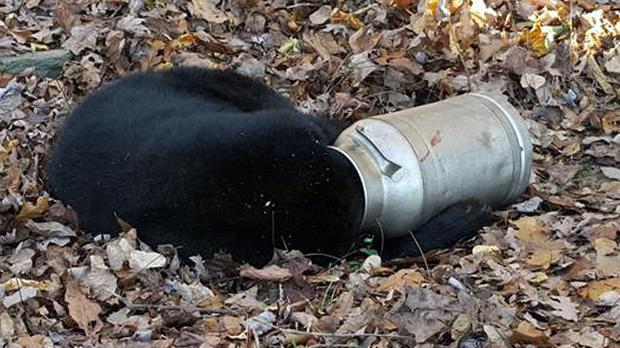 The bear was said to be calm despite getting its head stuck in a milk churn (Maryland Department of Natural Resources Wildlife and Heritage Service/AP)