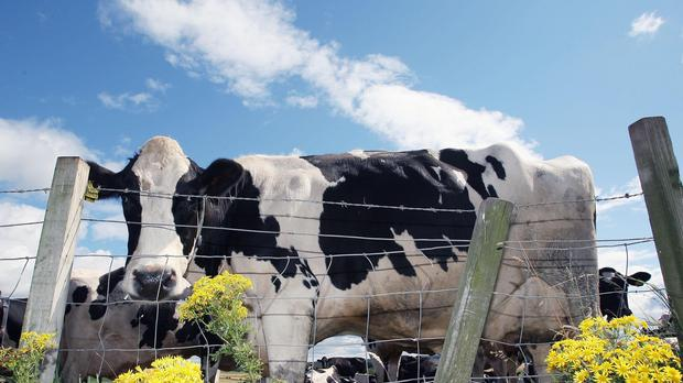 A cow ended up stuck on a roof-top patio near Halifax