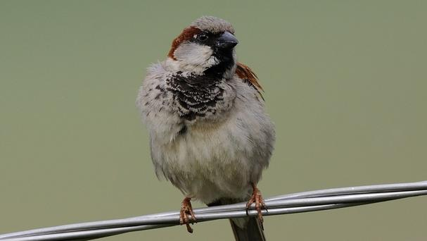 The research was carried out on house sparrows