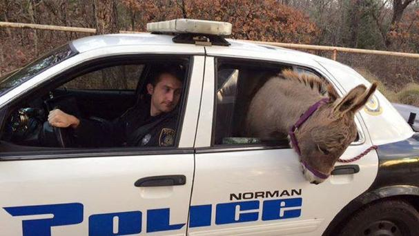 A miniature donkey pokes out of the back of a police vehicle in Norman, Oklahoma (Robin Strader/Norman Police Department/AP)