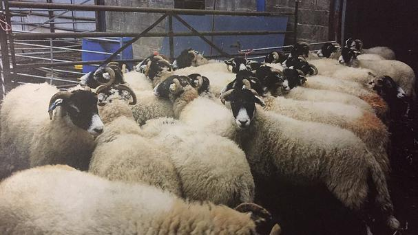 Undated Durham Police handout photo of stolen sheep later identified by their rightful owners, as two members of a farming family found with more than 100 stolen sheep were facing jail after police reunited the ewes with their rightful owners using identity parades. PRESS ASSOCIATION Photo. Issue date: Thursday December 3, 2015. A senior detective branded Charles Raine, 66, and his nephew Phillip, 46,