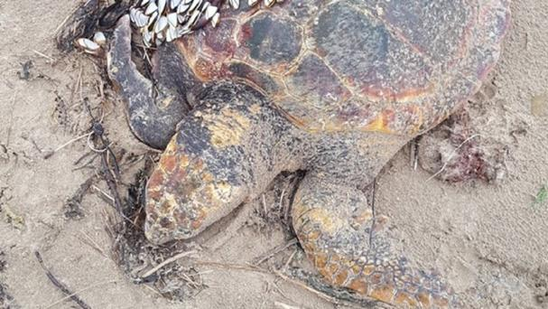 The Scottish SPCA were alerted after a male loggerhead turtle was discovered on Irvine beach (PA/Scottish SPCA)