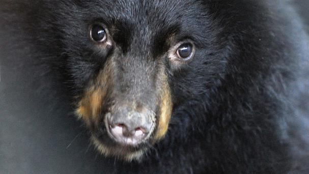 The black bear travelled for 65 miles on the truck