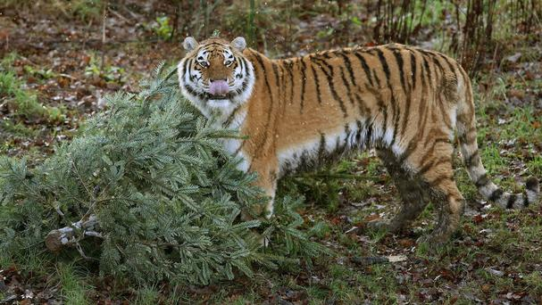 Amur tiger Bella pushes a leftover Christmas tree as staff at Blair Drummond Safari Park near Stirling use scents and sprays to keep the tigers' keen sense of smell stimulated