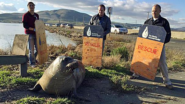 Wildlife experts attempt to corral the seal that keeps trying to cross a highway in Sonoma, California (California Highway Patrol/AP)