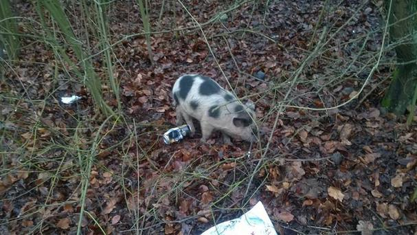 One of the escaped pigs that caused the inbound A21 Sevenoaks Road to close for several hours (Kier Highways/@TfL Traffic News/PA Wire)