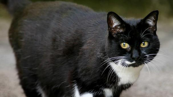 The bicoloured patterning of piebald cats such as Sybil, the Downing Street cat, are determined in the womb, a new study has found