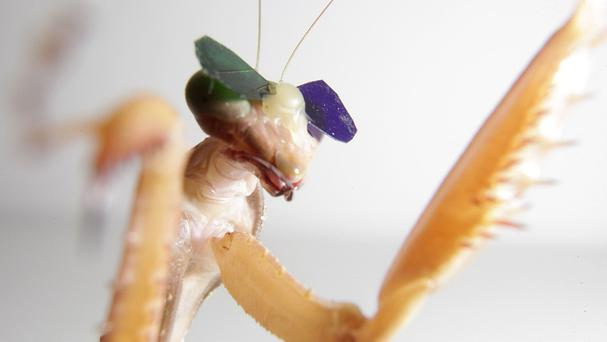 The study, in which praying mantises were fitted with glasses, showed the invertebrates use 3D perception (Newcastle University/PA)