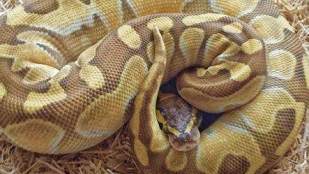 The thief stuffed a 2ft python down his trousers
