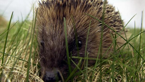 A person made a call to 999 about a hedgehog