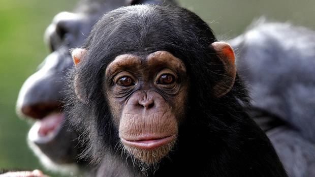 A study of chimps showed a shared trait of 'selectively trusting friends in costly situations', researchers said