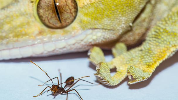 A gecko and an ant, which both use adhesive footpads to climb vertical walls (Cambridge University/A Hackmann/D Labonte/PA)